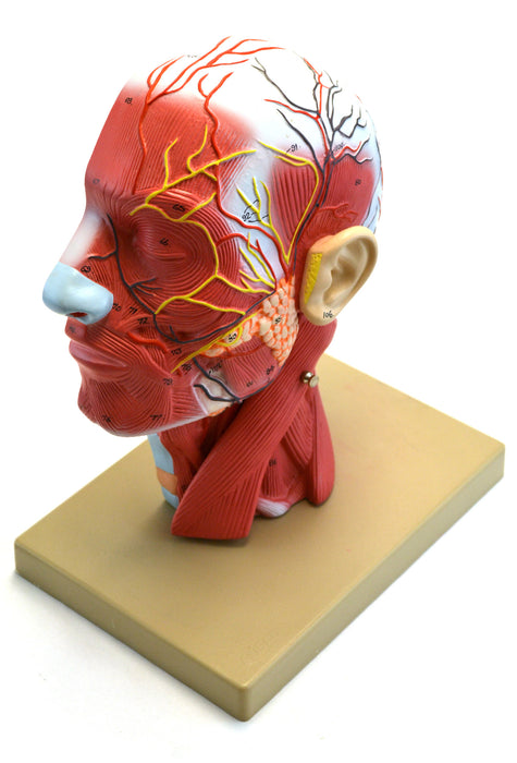 Model Human Half Head And Neck With Musculature 2 Parts Hbarsci