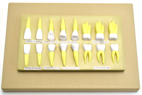 Eisco Labs Human Teeth Anatomical Model, Set of 16, 2 Times Life Size