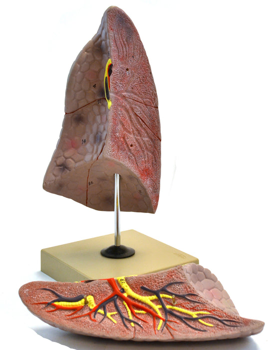 "Eisco Labs Human Right Lung Anatomical Model, 2 Parts, Life Size, Approx. 10"" Height"