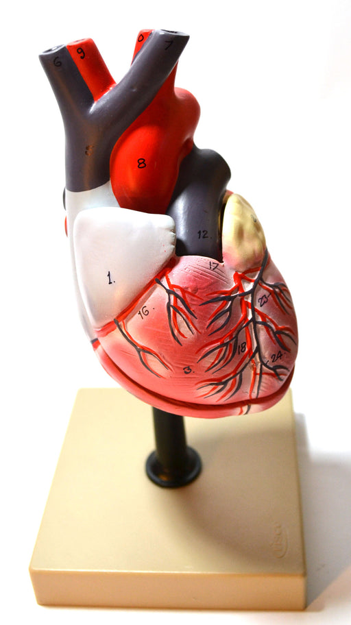 "Eisco Labs Human Heart Model; Larger than Life Size (8"" in height); On Diaphragm"