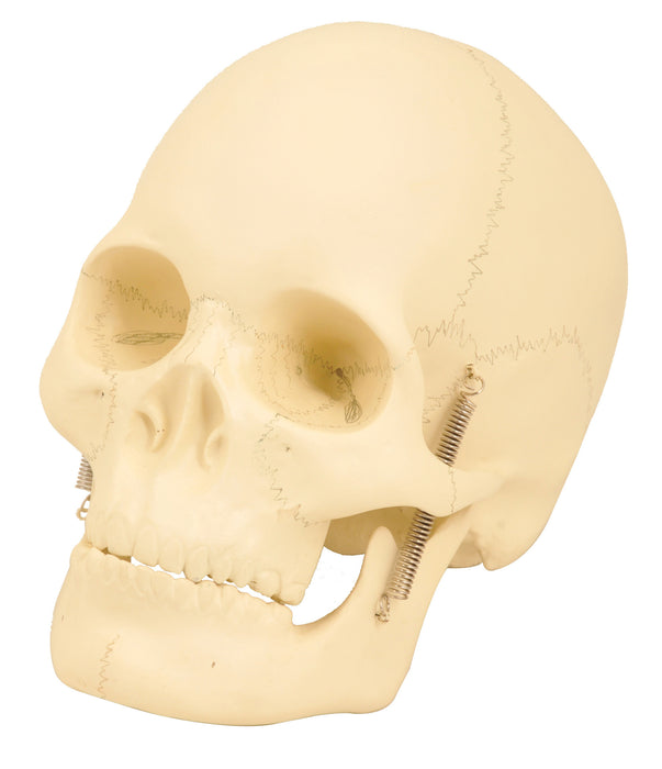 Eisco Labs Basic Human Skull Model, 2 Parts