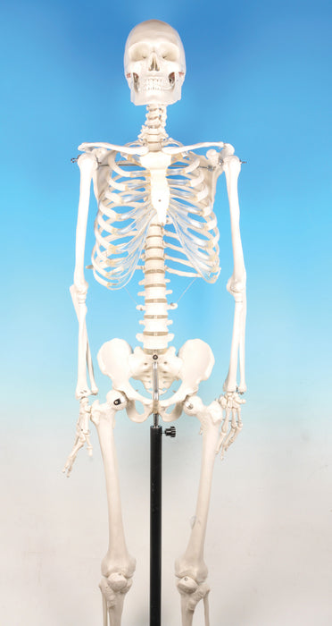 Model Human Skeleton - Superior