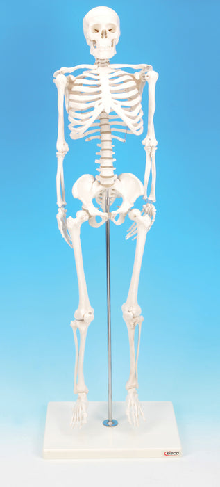 Model Human Skeleton Miniature Height 32cm.