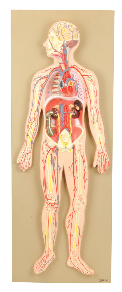 Eisco Labs Model, Human Circulatory System, Half-Size