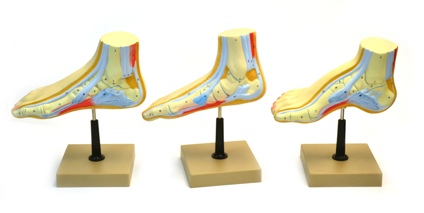 Eisco Labs Human Feet Model Set