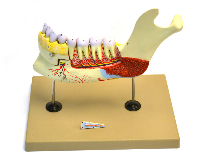 Eisco Labs Lower Human Jaw Model - 5 times Life size