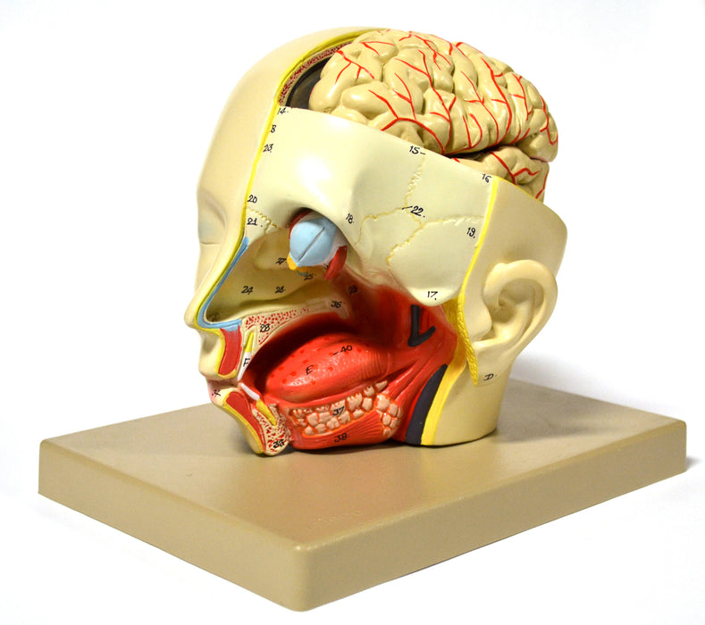 Eisco Labs Model, Human, Introductary Head Dissection, removable half brain