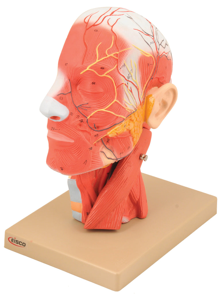 Eisco Labs Model, Human Head, Cross sectional, Neck, Life Size, Cranium