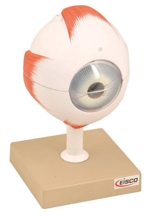 Eisco Labs Model, Human Eye, 5 Time Enlarged, 6 part, Dissectable