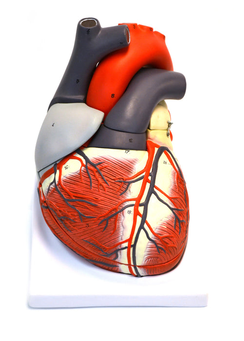 Eisco Labs Giant Human Heart Model