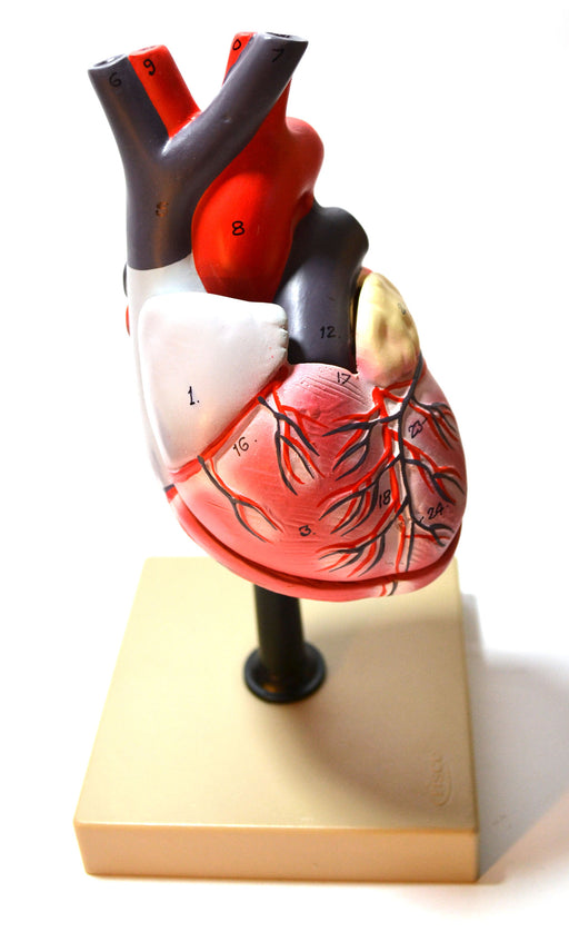 Eisco Labs Life Size Human Heart Model on Base; 2 Parts
