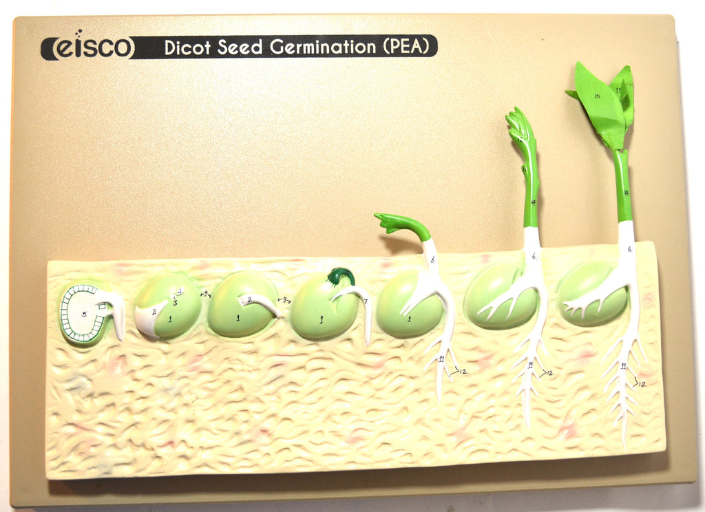 Eisco Labs Seed Germination Model (Pea) on base; 14 inches
