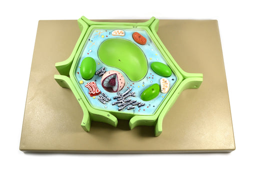 "Eisco Labs 4 Part Plant Cell Model on base; chloroplast, mitochondrion, and nucleus removable; 11.5"" X 10"" X 2"""