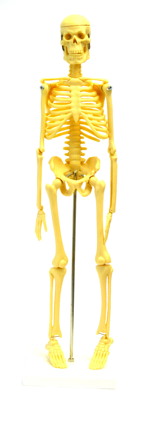 "Micro Skeleton, Small Scale Anatomical Model (16.5"" Height)"