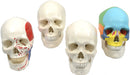 "9"" 3-Part Human Skull Anatomical Model Collection - Set of 4 (3-Part, Numbered, Color-Coded, and Painted Musculature)"