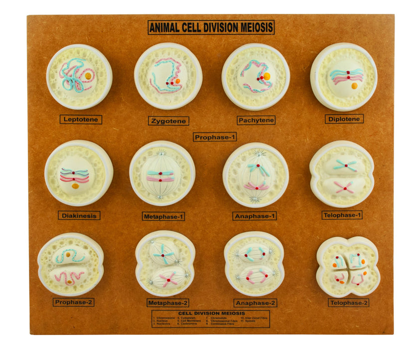 Animal Cell Meiosis Model, 21 Inch - Features 12 Phases