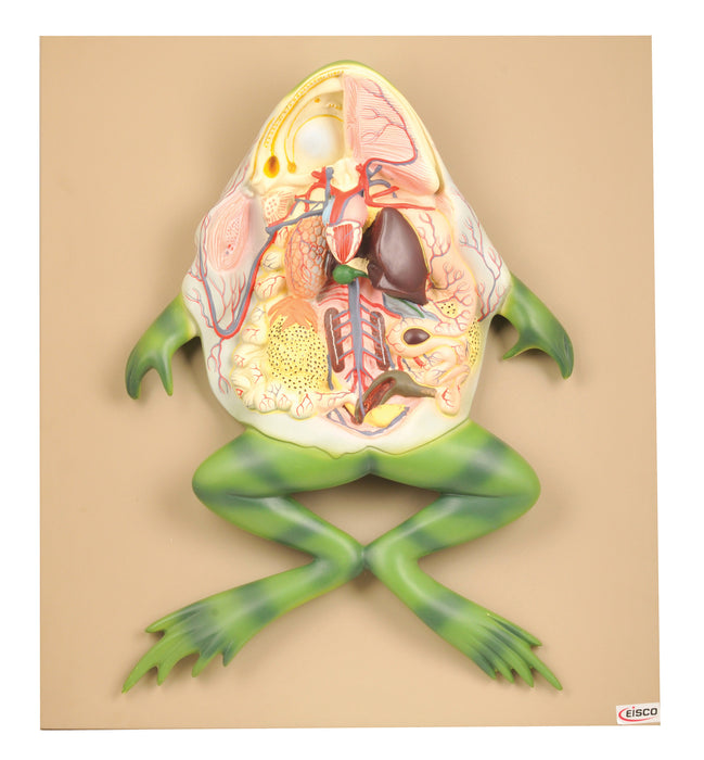 Model Frog Dissection, 21 Inch - Mounted - Ventral Cut