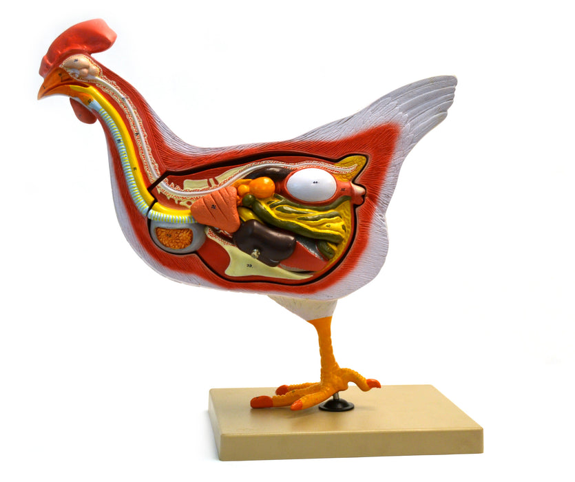 Eisco Labs Chicken / Hen Anatomy model- 6 Parts