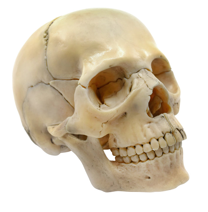 Didactic Miniature Skull Model - Natural Color, 1/2 Size - Magnetic Pieces