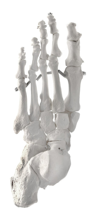 Foot Bones, Articulated - Left - Anatomically Accurate, Detailed Human Bone Replica