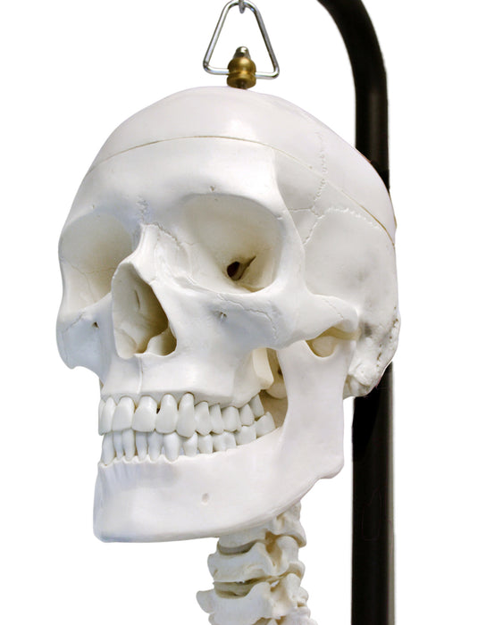 "Human Skeleton Anatomical Model with Hanging Stand, Medical Quality, Life Sized (62"" Model Height) - Moveable Joints, Magnetic Skull Connections"