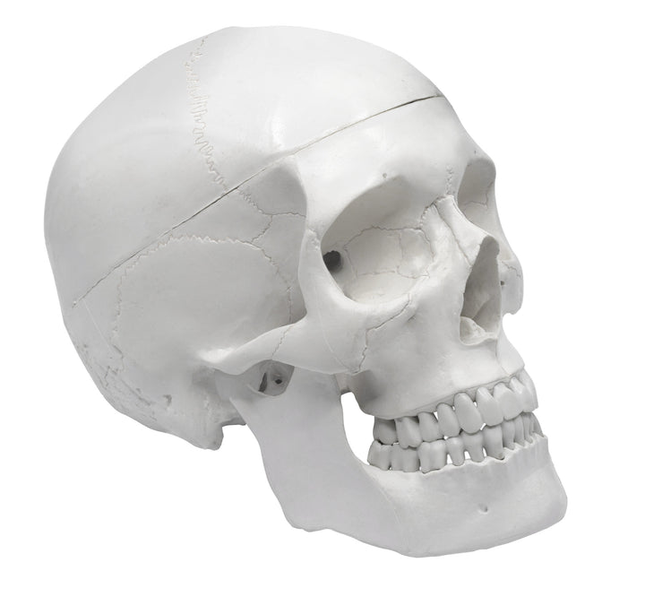 Human Adult Skull Anatomical Model, 3 Part