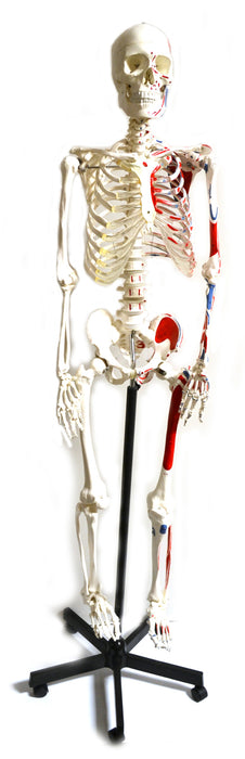 Human Skeleton Model, Full Size - Painted Muscles - Rod Mounted