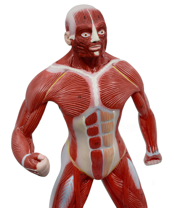 "Eisco Labs Human Muscular Body Anatomical Model, 1/4 Life Size, Approx. 18"" Tall"