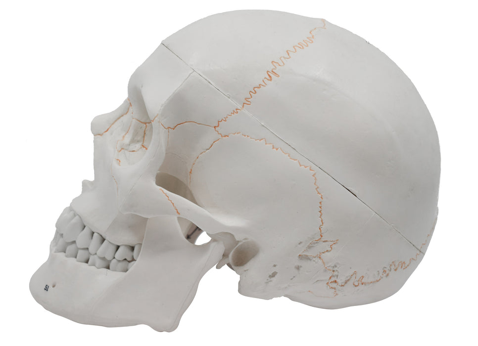 Numbered Skull - Human Anatomical Model, 3 Part - Numbered with Key Card