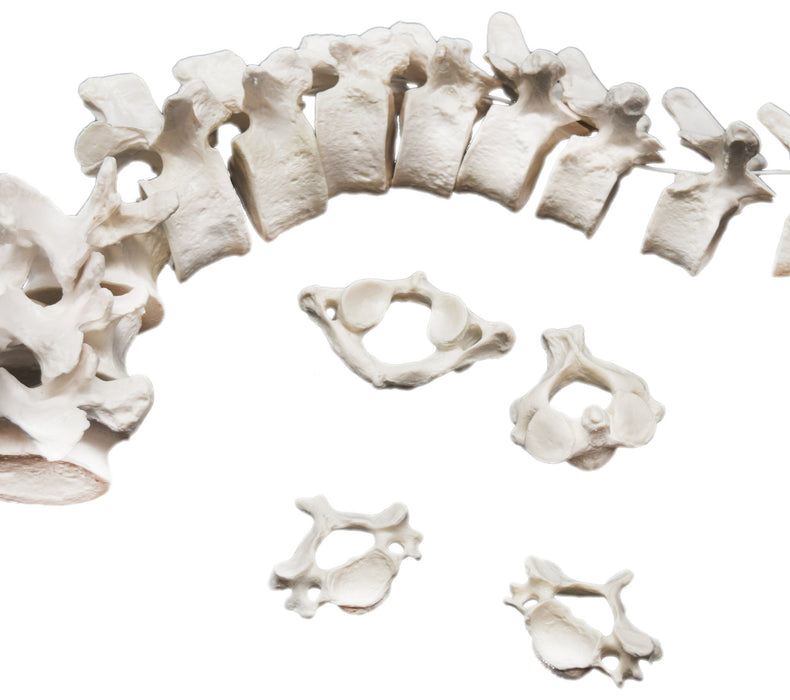 Disarticulated Vertebrae Bones & Cartilage, Anatomically Accurate