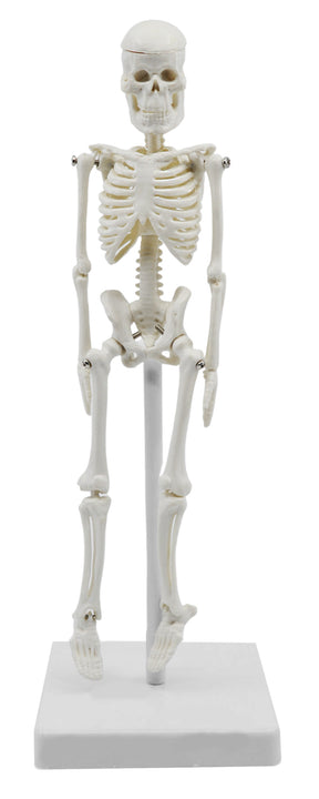 Miniature Human Skeleton Model, 8 Inch