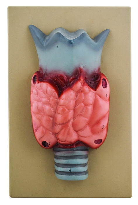 Model Thyroid Gland