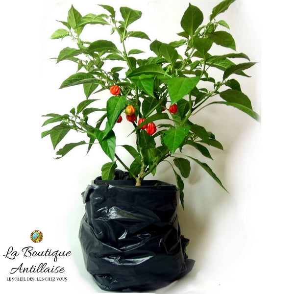 PLANT PIMENT ANTILLAIS BONDAMANJAK HABANERO - La Boutique Antillaise