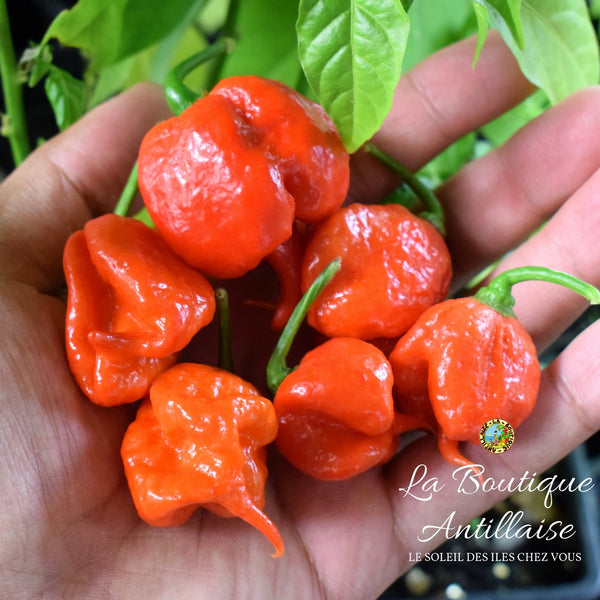 PIMENT CAROLINA REAPER ROUGE - 5 JEUNES PLANTS + 1 GRATUIT - La Boutique Antillaise