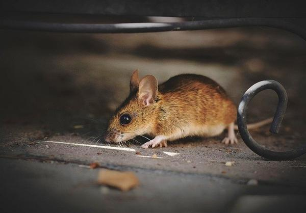 What Are The Differences Between Rats & Mice?