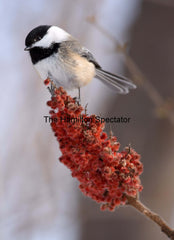 Chickadee 2 December 23, 2016