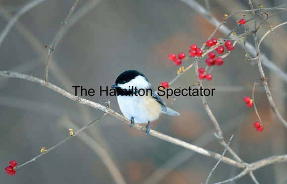 Chickadee December 23, 2016