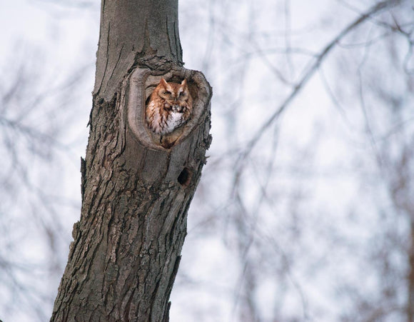 Northern Screech Owl - 2015 March 12 - A5