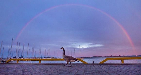Rainbow and Canada Goose - May 27, 2015