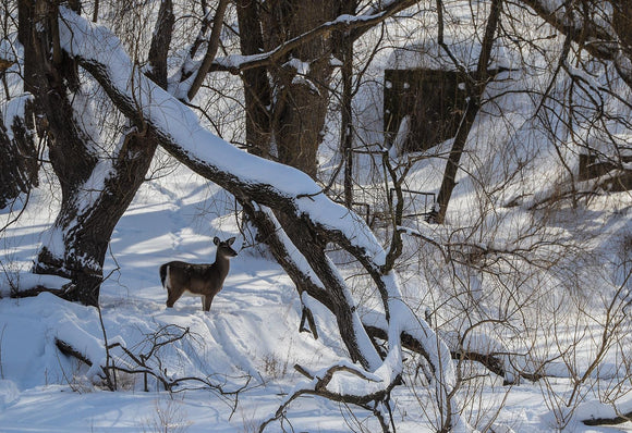 Deer in the Woods - 2015 February 2 - A6