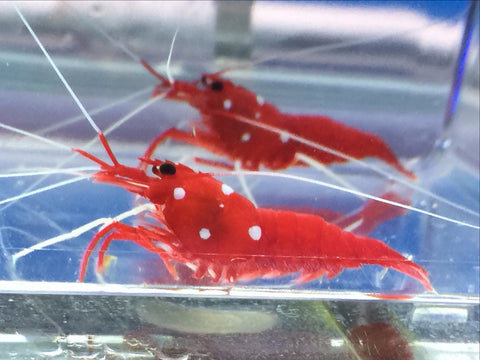 Fire Shrimp, about 1 1/2 inch, multiples available