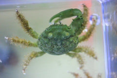 Green Emerald Crabs, about 1 inch