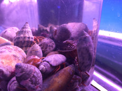 Halloween Hermit Crabs, about 1 to 2 inches each, multiples available