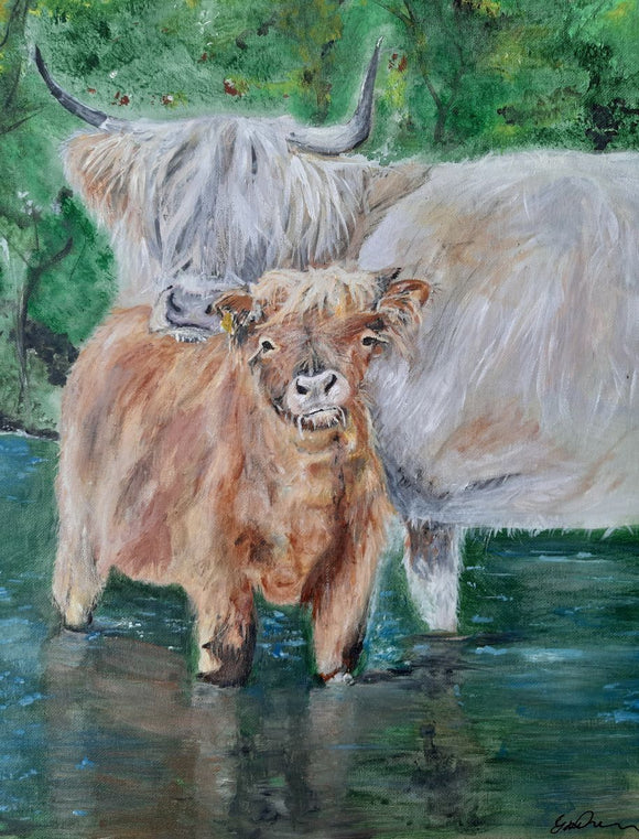 Highlands cows, cooling in the water