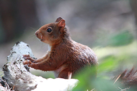 The Posing Red Squirrel