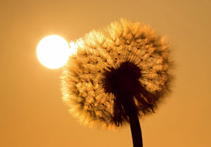 Close up of a dandelion clock, backlit by early morning sun.