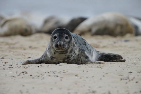 Lucky the Grey Seal