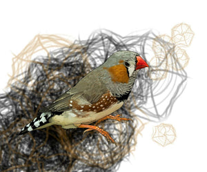 Z is for Zebra Finch