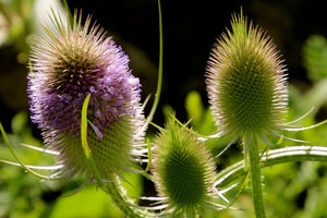 Summer Teasels