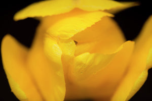 Yellow tulip, close up.